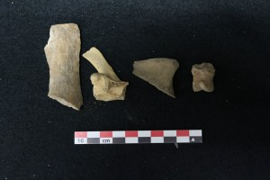 Animal bones, some butchered, from the West Circle Privy - Image via Lisa Bright