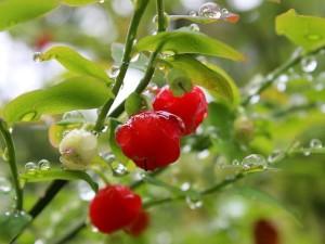 Huckleberries, Image Source: Flickr