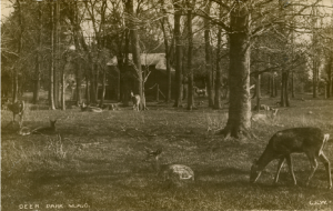 Deer in the campus deer park, c. 1907. Image courtesy of MSU Archives & Historical Collections
