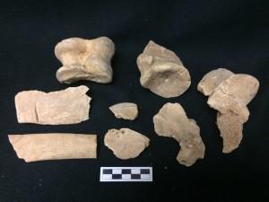 Animal bone from Saints Rest Rescue Excavation