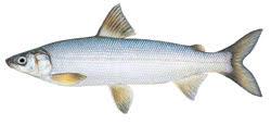 Whitefish - Image Source: DNR