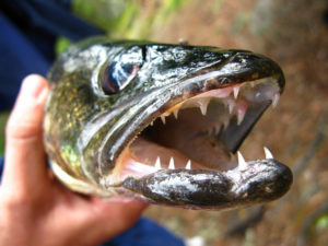 Walleye Teeth image source