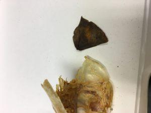 Walleye Operculum